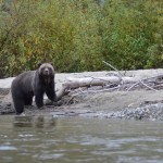 Crai Tracks Bears In Bella Coola