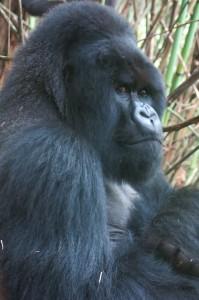 Rwandan Gorilla