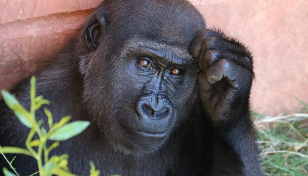 gorilla_primate_animal_africa_thoughtful_expressive_ape_nature-838589.jpg!d