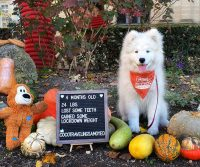 Coco Traveling Samoyed's First Road Trip – to Espelette, France